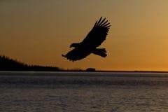 Vuelo de Eagle calvo cerca de Homer Alaska Imágenes de archivo libres de regalías