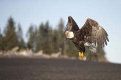 Vuelo de Eagle calvo cerca de Homer Alaska Imagen de archivo