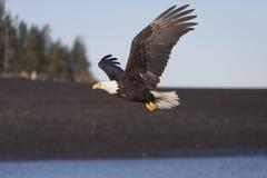 Vuelo de Eagle calvo cerca de Homer Alaska Imagenes de archivo