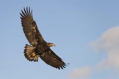 Vuelo de Eagle calvo cerca de Homer Alaska Fotos de archivo libres de regalías