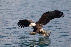 Vuelo de Eagle calvo, Homer Alaska Imagenes de archivo