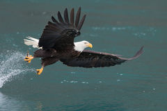 Vuelo de Eagle calvo, Homer Alaska fotografía de archivo