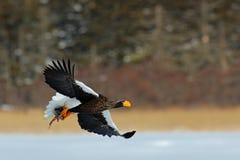 Vuelo de Eagle con los pescados Águila del mar de Steller hermoso, pelagicus del Haliaeetus, pájaro de vuelo de la presa Foto de archivo libre de regalías