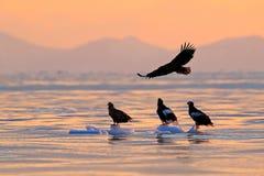 Vuelo de Eagle sobre el mar Águila de mar hermosa del ` s de Steller, pelagicus del Haliaeetus, pájaro de vuelo de la presa, con  Fotografía de archivo libre de regalías
