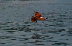 Vuelo de Eagle sobre el mar Fotos de archivo