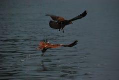 Vuelo de Eagle sobre el mar Imágenes de archivo libres de regalías