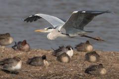 Vuelo de Gray Heron Foto de archivo