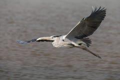 Vuelo de Gray Heron Foto de archivo libre de regalías