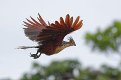 Vuelo de Hoatzin - hoazin del Opisthocomus - en la reserva de la fauna de Cuyabeno - Amazonia, Ecuador fotos de archivo