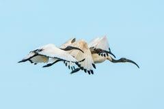 Vuelo de Ibis sagrado en la sincronización foto de archivo