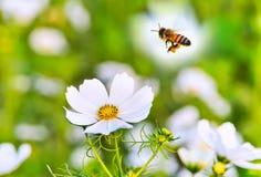 Vuelo de la abeja fotos de archivo