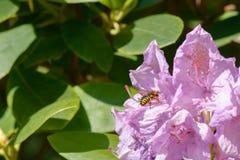 vuelo de la abeja Imágenes de archivo libres de regalías
