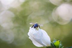 Vuelo 1 de la abeja Imagenes de archivo