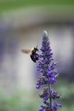 Vuelo de la abeja Imagen de archivo libre de regalías