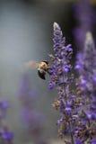 Vuelo de la abeja Fotografía de archivo