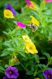 Vuelo de la abeja alrededor de las flores coloreadas Imagenes de archivo