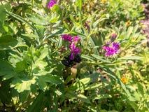 vuelo de la abeja alrededor de las plantas Imagen de archivo