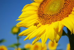 Vuelo de la abeja alrededor del girasol Imagen de archivo