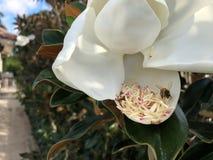vuelo de la abeja alrededor de una flor de la magnolia Imagen de archivo libre de regalías