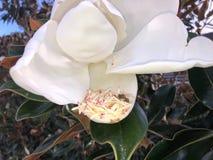 vuelo de la abeja alrededor de una flor de la magnolia Fotos de archivo libres de regalías