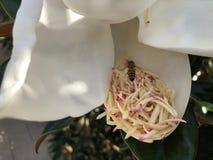vuelo de la abeja alrededor de una flor de la magnolia Fotografía de archivo libre de regalías