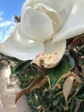 vuelo de la abeja alrededor de una flor de la magnolia Foto de archivo