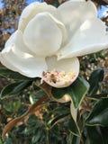vuelo de la abeja alrededor de una flor de la magnolia Imágenes de archivo libres de regalías