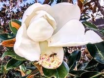 vuelo de la abeja alrededor de una flor de la magnolia Fotos de archivo