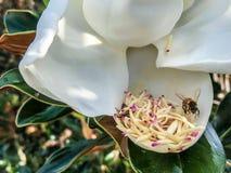 vuelo de la abeja alrededor de una flor de la magnolia Imagenes de archivo