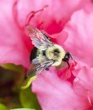 Vuelo de la abeja cerca de un arbusto rosado del azalia Foto de archivo