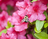 Vuelo de la abeja cerca de un azalia rosado Foto de archivo libre de regalías