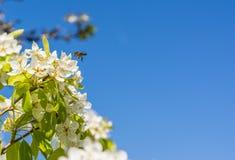 Vuelo de la abeja cerca de una flor del peral Fotos de archivo libres de regalías