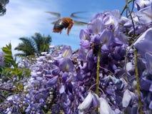 Vuelo de la abeja cerca de una flor Imagen de archivo libre de regalías