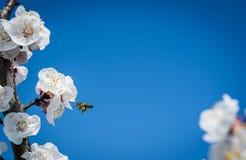 Vuelo de la abeja cerca de una flor del albaricoquero Imagen de archivo libre de regalías