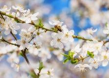 Vuelo de la abeja de Cherry Blossom Honey de la primavera Imagen de archivo libre de regalías