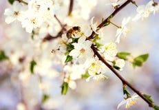 Vuelo de la abeja de Cherry Blossom Honey de la primavera en la floración Imagenes de archivo