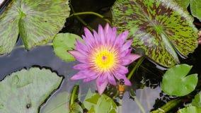 Vuelo de la abeja con la flor de loto hermosa, waterlily, vídeo de la cámara lenta almacen de video