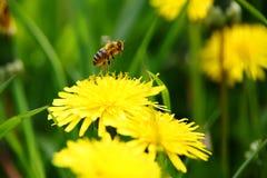 Vuelo de la abeja de la flor Foto de archivo libre de regalías