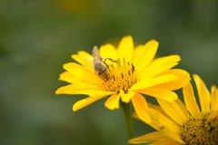 Vuelo de la abeja de la flor a florecer y a polinizar Imagen de archivo libre de regalías