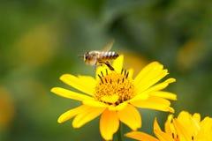 Vuelo de la abeja de la flor a florecer y a polinizar Foto de archivo libre de regalías
