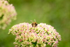 Vuelo de la abeja de la flor a florecer y a polinizar Imagenes de archivo