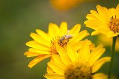 Vuelo de la abeja de la flor a florecer y a polinizar Foto de archivo