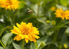 Vuelo de la abeja de la flor a la flor Foto de archivo