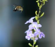 Vuelo de la abeja de la miel Fotografía de archivo