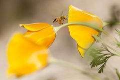 Vuelo de la abeja de la miel en el californica, el amarillo y la naranja de Eschscholzia Fotografía de archivo libre de regalías