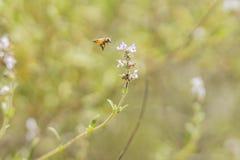 Vuelo de la abeja de la miel en la flor Imagen de archivo