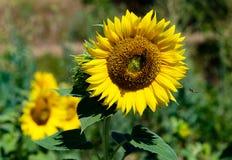 Vuelo de la abeja de la miel hacia la floración del girasol Fotografía de archivo libre de regalías