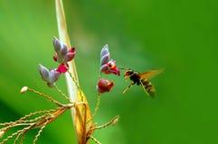 Vuelo de la abeja del manosear Imagenes de archivo