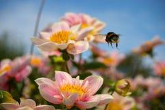 Vuelo de la abeja del manosear Imagen de archivo libre de regalías