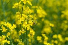 Vuelo de la abeja del primer en campo de la rabina Sesión fotográfica macra con el fondo borroso Fotografía de archivo